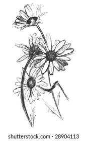 Sketch of  chamomile