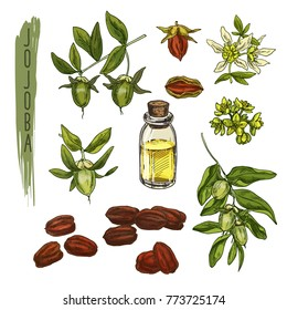 Sketch of colourful jojoba elements. Vector realistic icons of organic plant are good for a logo, banner, flyer creation or advertising medicinical, beauty and spa products.