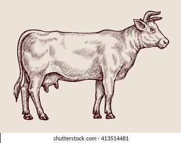 Sketch cow. Hand drawn vector illustration