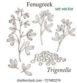 Sketch of a fenugreek plant in a vintage style. Design elements for postcards, ads, promotional invitations, rural markets and botanical illustrations. Drawn by hand.
