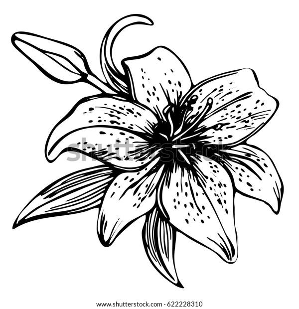 Image Vectorielle De Stock De Dessiner Un Lis Fleuri