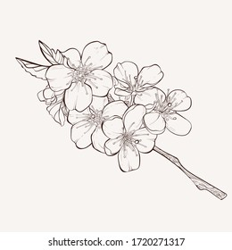 Sketch Floral Botany Collection. Apple tree branch with flower drawings. Black and white with line art on white backgrounds. Hand Drawn Botanical Illustrations.