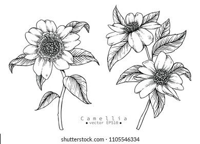 Sketch Floral Botany Collection. Camellia flower drawings. Black and white with line art on white backgrounds. Hand Drawn Botanical Illustrations.