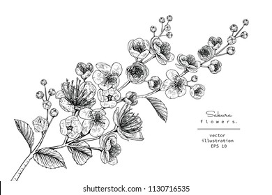 Sketch Floral Botany Collection. Cherry blossom Sakura flower drawings. Black and white with line art on white backgrounds. Hand Drawn Botanical Illustrations.Vector.