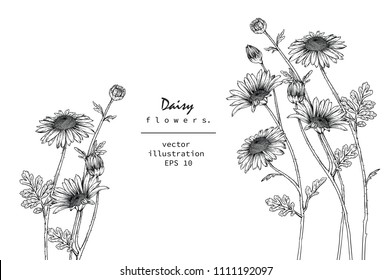 Sketch Floral Botany Collection. Daisy flower drawings. Black and white with line art on white backgrounds. Hand Drawn Botanical Illustrations.Vector.