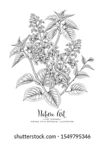 Sketch Floral Botany Collection. Lilac (Syringa vulgaris) flower drawings. Black and white with line art on white backgrounds. Hand Drawn Botanical Illustrations.Nature Vector.