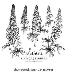 Lupine Clip Art