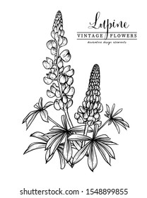 Sketch Floral Botany Collection. lupine flower (Lupinus) drawings. Black and white with line art on white backgrounds. Hand Drawn Botanical Illustrations.Nature Vector.