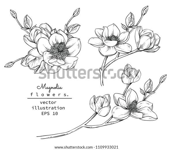 Эскиз Цветочная коллекция ботаники. Магнолия цветочные рисунки. Черно-белый с линейным искусством на белом фоне. Ручной рисунок Ботанические иллюстрации.Вектор.