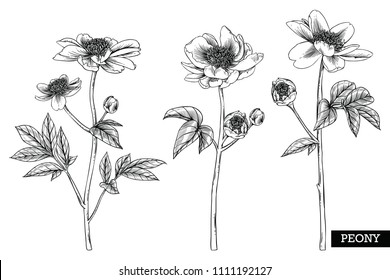 Sketch Floral Botany Collection. Peony flower drawings. Black and white with line art on white backgrounds. Hand Drawn Botanical Illustrations.Vector.