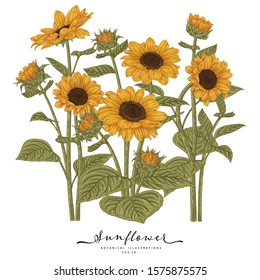 Sketch Floral Botany Collection. Sunflower drawings. Beautiful line art on white backgrounds. Hand Drawn Botanical Illustrations. Nature Vector.