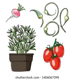 Sketch of food. Roma Tomatoes, Savory, Garlic Scapes, radish. Vector drawing of vegetables and herbs.