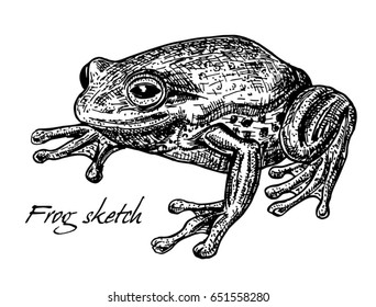Sketch of frog. Toad, frog, drawing. Hand drawn illustration