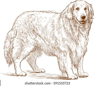 sketch of a golden retriever