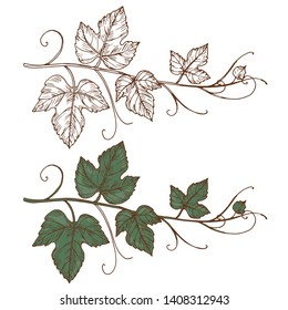 Sketch grapevine vector isolated on white background. Grapevine branch, design of botanical viticulture illustration