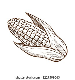 Sketch, graphic drawing of a corn, maize with leaves, monochrome flat vector illustration on white background