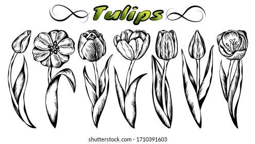 Sketch hand drawn set of line art black tulips isolated on white background. Engraved Spring hollands flowers. Vintage turkish tulip. Retro, floral, botanical, plant, vector illustration.