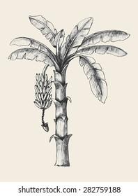 Sketch illustration of banana tree