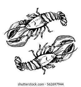 Sketch illustration of lobster on white background. Fresh organic seafood, crawfish, crayfish. Hand drawn illustration.