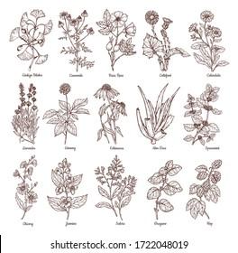 Sketch illustration of medicinal herbs. Vector hand drawn set. Chamomile, gingo beloba, echinacea, calendula, mint, rose hip, lavender. For packaging, patterns, prints.