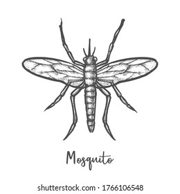 Sketch of isolated mosquito or engraved insect. Hand drawn bug or icon of malaria fly, pest sketching, bloodsucking parasite vector closeup. Zika and dengue virus animal. Anopheles sign. Entomology