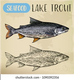 Sketch of lake or white trout. Sea or ocean, river salmonid fish. Store or shop, market, sport fishing trophy signboard. Nautical and maritime, underwater animal, fishing and catch, aquatic theme