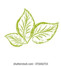 sketch logo three green basil leaves