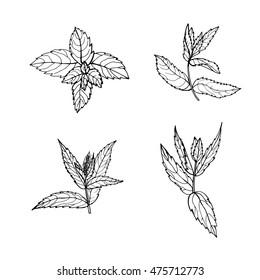 Sketch mint leaves set, vector illustration.  Outline mint leaves are element for design. Hand-drawn contour lines