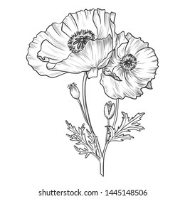 Sketch pen and ink vintage poppy bouquet illustration, draft silhouette drawing, black isolated on white background. Botanical graphic etching design.