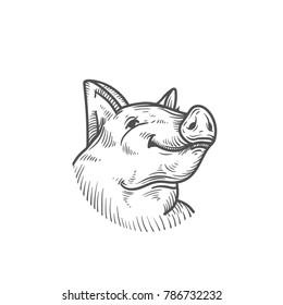 sketch of pig. engraved pig and pork