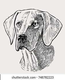 sketch portrait of a hunting dog