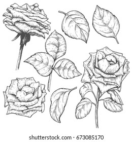 Sketch rose blossom flowers set with leaves, hand drawn floral design, isolated on white background. Vector illustration.
