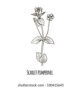 Sketch of Scarlet pimpernel Hand drawn botanical vector illustration