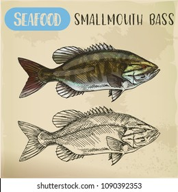 Sketch of smallmouth or brown, bronze bass, smallie or bareback, bronzeback. Hand drawn fish of freshwater species for restaurant menu. Catch and fishing, sea and ocean, river and nautical, food theme