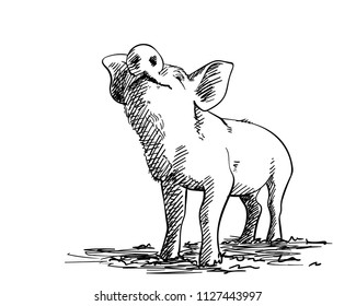 Sketch of sniffing pig, Hand drawn vector illustration with hatched shades