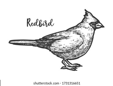 Sketch of songbird or hand drawn redbird. Flying animal sketching or northern cardinal. Red american bird. Cardinalis. Ornithology and biology, nature and wildlife drawing. Vector illustration design