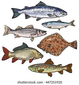 Sketch style sea fish collection, vector illustration isolated on white background. Set of colorful realistic sketches of edible sea fish. Tuna herring, bass flatfish perch carp