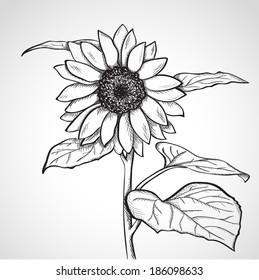 Sketch sunflower, hand drawn, ink style