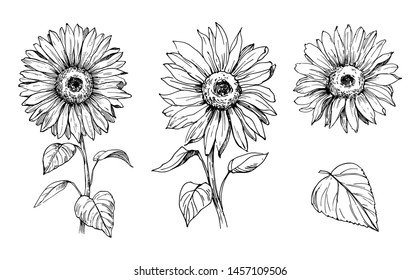 Sketch of sunflower. Hand drawn outline converted to vector.