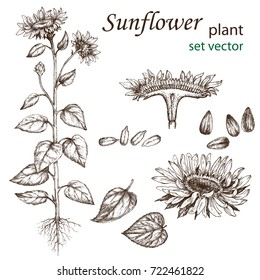 Sketch of a sunflower plant in a vintage style. Design elements for postcards, ads, promotional invitations, rural markets and botanical illustrations.