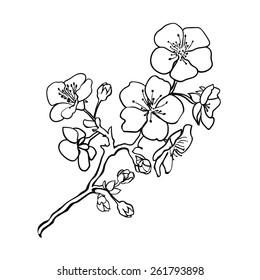 Sketch. Twig sakura blossoms . Vector illustration