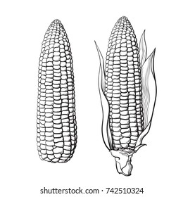 Sketch of two corn cobs. With leaves and without. Ear of corn. Hand drawn vector illustration isolated on white background.