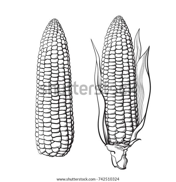 Skizze von zwei Maiskolben. Mit Blättern und ohne. Ohr von Mais. Handgezeichnete Vektorgrafik einzeln auf weißem Hintergrund.
