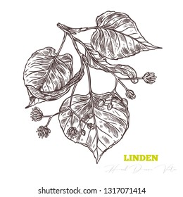 Sketch vector linden sprig.  Floral vintage hand drawn style illustration. Honey flower drawing isolated on white background