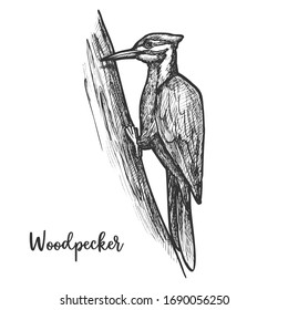 Sketch of woodpecker bird on tree. Hand drawn flying animal or wood pecker at wood or forest. Picidae wildlife doing pecking on branch. Ornithology tattoo or mascot. Biology and fauna, wild nature
