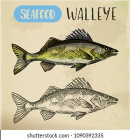 Sketch of yellow or blue walleye. Hand drawn perciform fish or zander. Sea or ocean, river pickerel for market signboard or restaurant menu, sport fishing trophy. Underwater wildlife theme