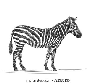 Sketch of zebra, Hand drawn vector illustration isolated on white background
