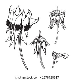Sketched set of Desert pea Sturt's Desert Pea or Swainsona formosa wildflower illustrations close-up on a white back ground
