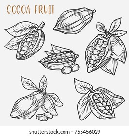 Sketches of cacao plant or cocoa beans on pod with leaf. Monochrome tropical sketches of food, criollo or trinitario, forastero harvest. Garden and coffee, botany and fruit, vegetarian theme