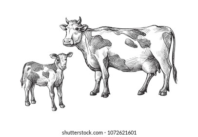 Imágenes, fotos de stock y vectores sobre Calf Drawing